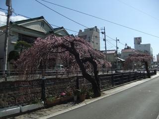 0326sidarezakura1.jpg