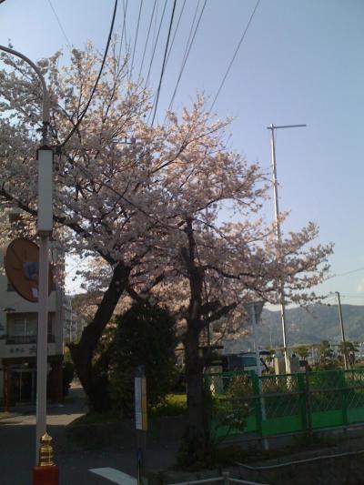 大縄海水浴場前、お浜の桜03