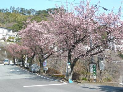 「あたみ桜」梅園沿い