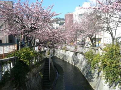 「あたみ桜」糸川沿い