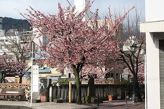 糸川基準木(平成22年2月2日撮影)