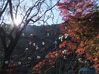 冬至梅と紅葉
