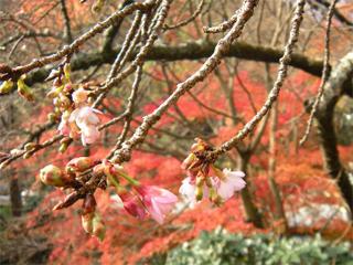 あたみ桜(足湯の奥)