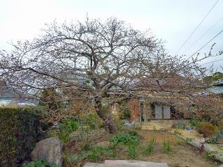 「笹原地区 かじやの桜」 2011/02/08撮影