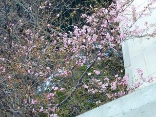 「河津七滝 早咲き」 2011/02/08撮影
