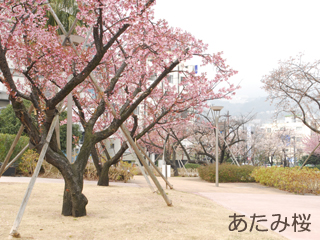 atamizakura2.jpg