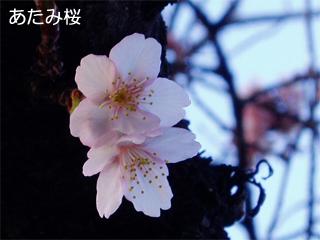 atamizakura3.jpg