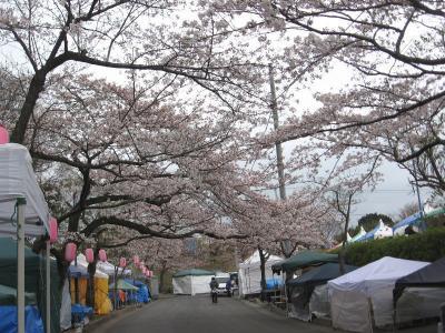 伊豆高原桜並木の「ソメイヨシノ」は4~5分咲きになりました!