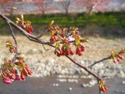 笹原公園付近です。蕾がピンク色に染まってきました
