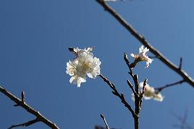 kobukuzakura2.jpg