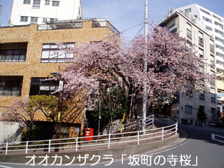 ookanzakura.jpg