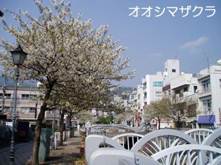 oosimazakura1.jpg