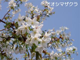 oosimazakura2.jpg