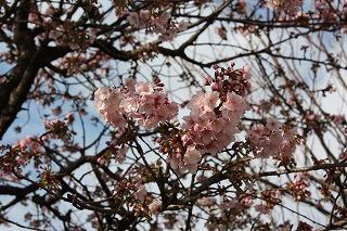 「あたみ桜」1