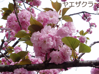 yaezakura2.jpg
